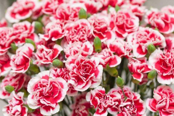 december birthday flower - HD3865×2576